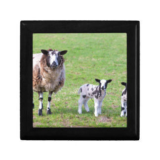 Mother sheep with two newborn lambs in spring jewelry boxes