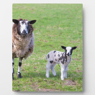 Mother sheep with two newborn lambs in spring plaque