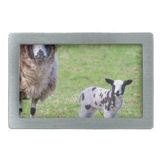 Mother sheep with two newborn lambs in spring rectangular belt buckles