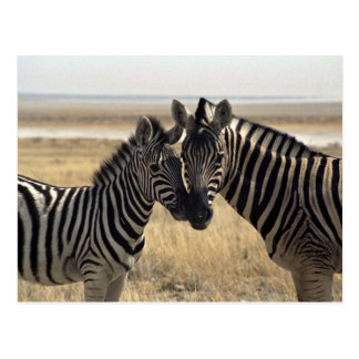 Mother zebra and young zebra postcard