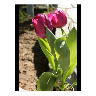 Mother's Tulips Postcard