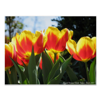 Mount Vernon Estate Tulips Poster