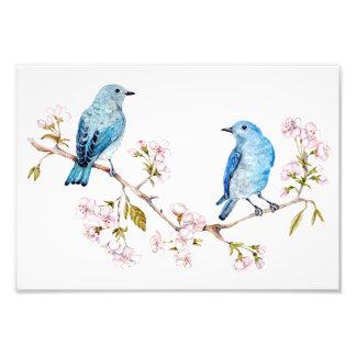 Mountain Bluebirds on Sakura Branch Photo