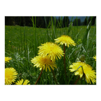 Mountain Dandelions Poster