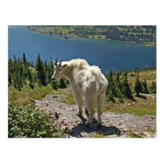 Mountain Goat at Glacier National Park Postcard