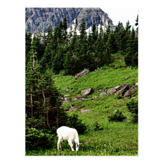 Mountain Goat Grazing Postcard