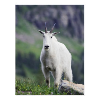 Mountain Goat, Oreamnos americanus, adult with Postcard
