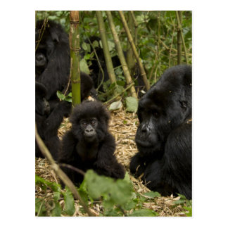 Mountain Gorilla, adult with young 2 Postcard