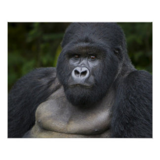 Mountain Gorilla and Silverback 4 Poster