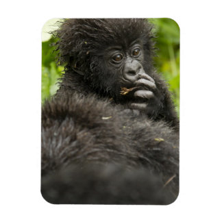 Mountain Gorilla, baby riding on mothers back Magnet