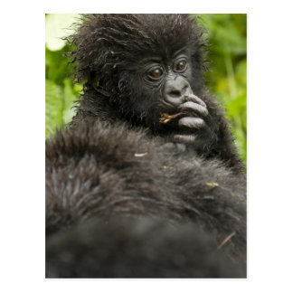 Mountain Gorilla, baby riding on mothers back Postcard