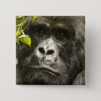 Mountain Gorilla, Gorilla beringei beringei, 2 Inch Square Button