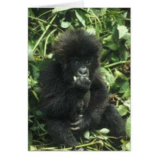 Mountain Gorilla, (Gorilla gorilla beringei), Card