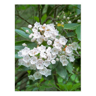 Mountain Laurel Flowers Postcard