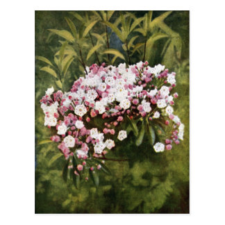 Mountain Laurel Flowers Postcard