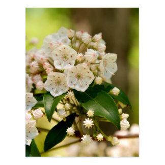 Mountain Laurel in bloom Postcard
