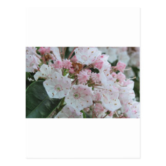 Mountain Laurel Products Postcard