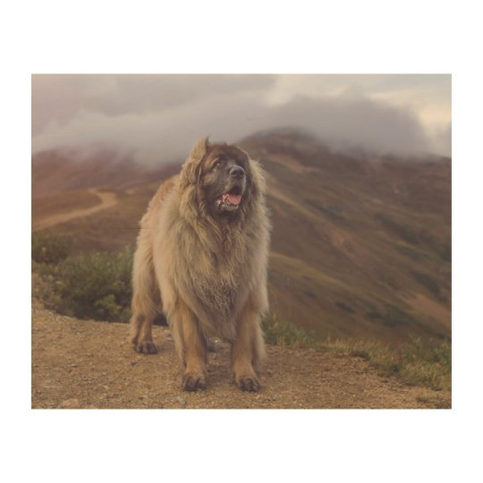 mountain Leonberger Wood Print