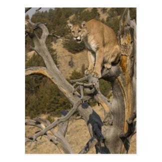 Mountain Lion, aka puma, cougar; Puma concolor, 2 Postcard