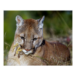 Mountain Lion Playing with the Flowers Poster