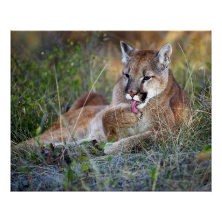 Mountain Lion Preening Poster