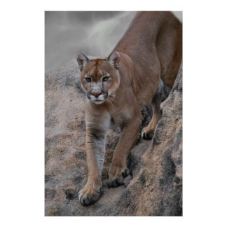 Mountain lion rock climbing poster