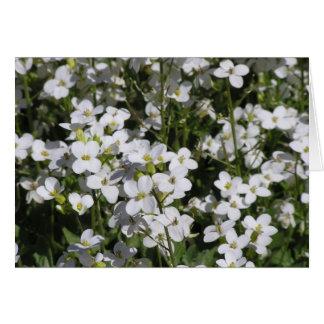 Mountain Rock Cress (Arabis alpina) card