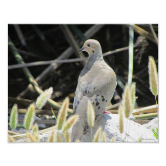 Mourning Dove 14x11 Archival Matte Poster Print