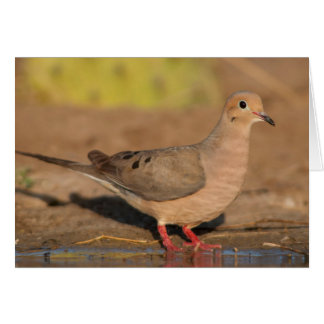 Mourning Dove drinking in South Texas Greeting Card