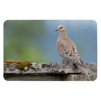 Mourning Dove Large Photo Magnet