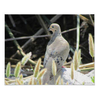 Mourning Dove Photo 14x11 Canvas Poster Print