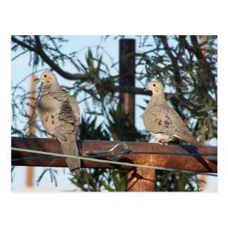 Mourning Dove Post Card