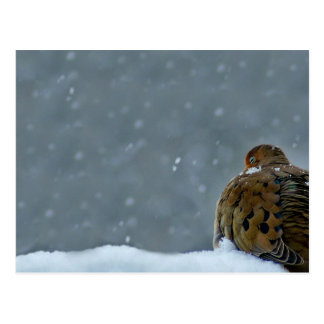 Mourning Dove Postcard