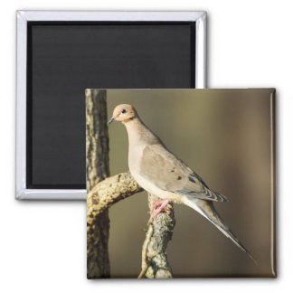 Mourning Dove Square Magnet