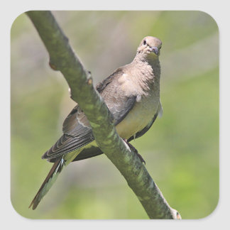 Mourning Dove Square Sticker