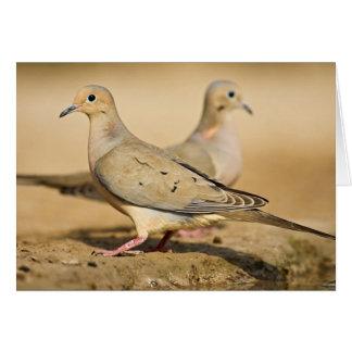 Mourning Dove (Zenaida macroura) adults on Greeting Card