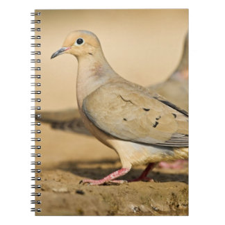Mourning Dove (Zenaida macroura) adults on Note Books