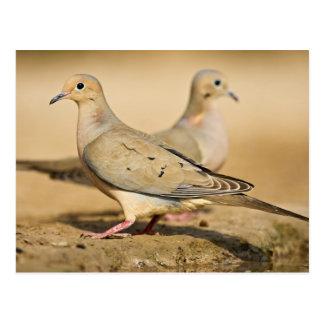 Mourning Dove (Zenaida macroura) adults on Postcard