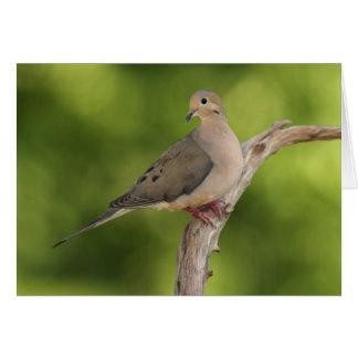 Mourning Dove, Zenaida macroura Greeting Card