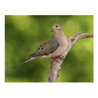 Mourning Dove, Zenaida macroura Postcard