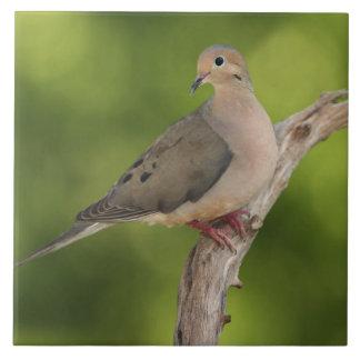 Mourning Dove, Zenaida macroura Tile
