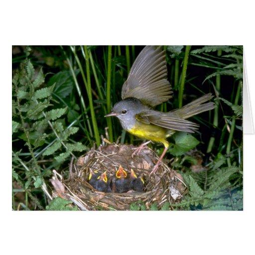Mourning Warbler landing on nest Card