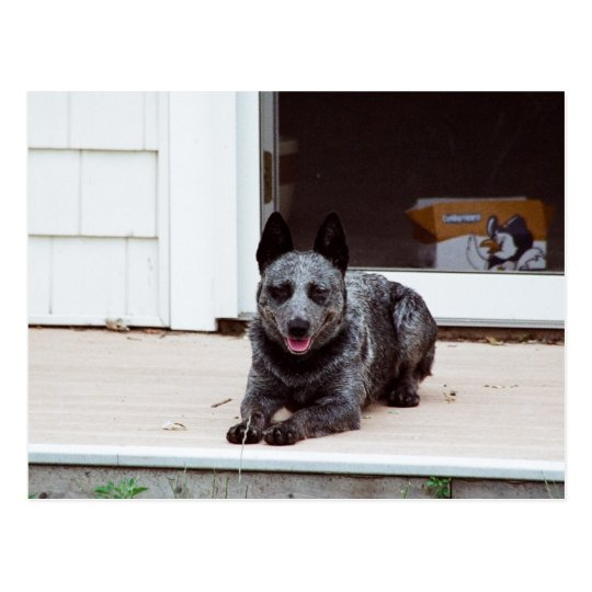 Mouse the Blue Heeler Postcard