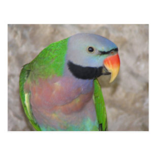 Moustache Parakeet Gifts on Zazzle CA