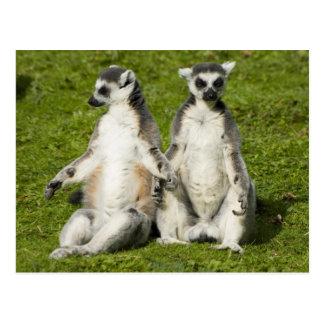 Mr & Mrs Lemur Postcard