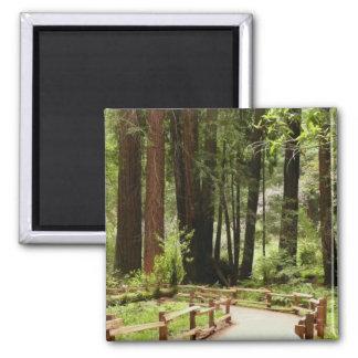 Muir Woods Path I Magnet