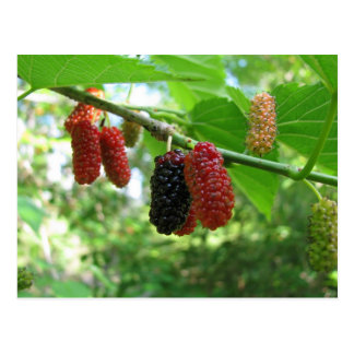Mulberry Tree Postcard