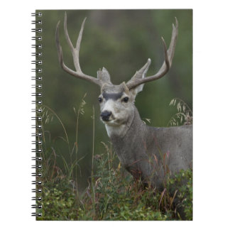 Mule Deer buck browsing in brush Spiral Note Book