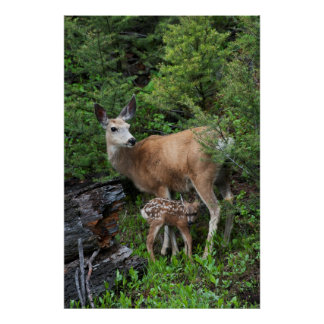 Mule Deer Doe with New Born Fawn Poster