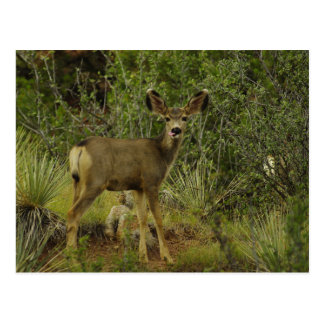Mule Deer Raspberry Postcard